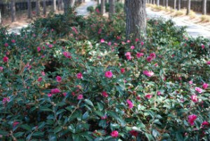 Masses of pink camellia bushes at Bay Creek Golf Resort in first Spring bloom.