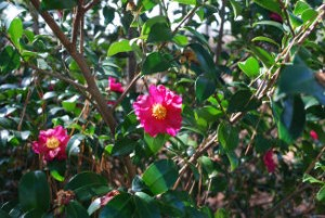 Picture of deep pink camillias with golden centers and deep green leaves.