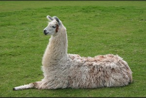 Alpaca resting on ground