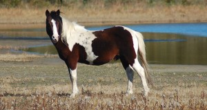 Assateague wild pony standing in marsh