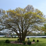 Old Castle Crepe Myrtle Tree