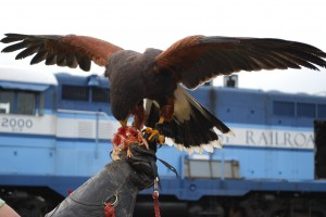 Fire, A Harris Hawk, Munching On A Her Raw Chicken Reward